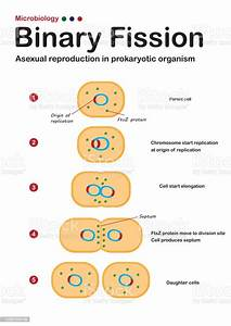 Microbiology Diagram Show Step Of Binary Fission In Asexual Reproduction Of Prokaryote Organism