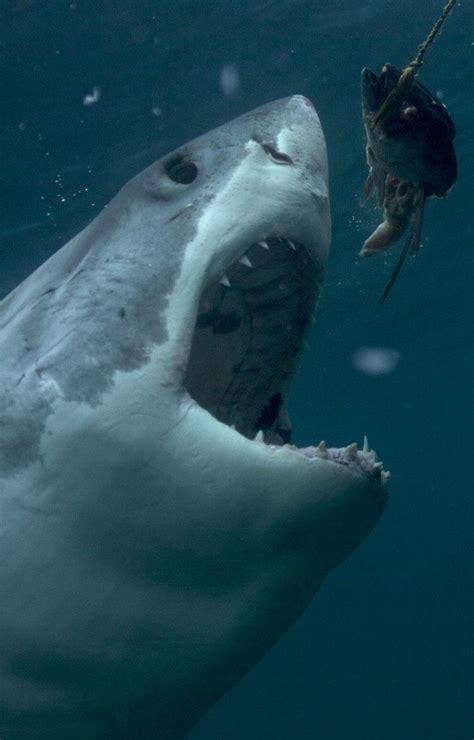Great White Shark Shark Week