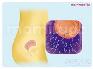 Ssw Mit Geburtstermin Berechnen : die besten 25 eizelle ideen auf pinterest eizelle befruchtung magnesium in der ~ Themetempest.com Abrechnung