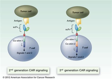 Car-t Cell Therapy Means A Lot More Than One Or Two New