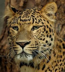 Wild leopards of Beijing by Michael Rank
