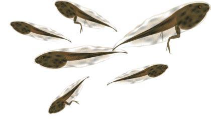 La Fontaine la grenouille qui voulait se faire aussi grosse que le boeuf bon commentaire 1520 bac français écrit et oral 2013