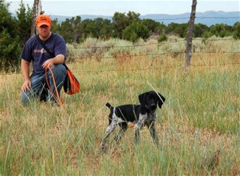 gun dogs utah field trialing flushing hunt