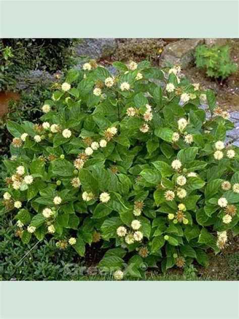 Cephalanthus occidentalis / Knopfbusch günstig kaufen