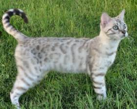 snow bengal cat snow bengal kittens for and snow bengal cats