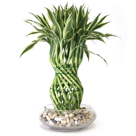Lucky Bamboo Pflege by Lucky Bamboo Arrangement Pineapple Braided Lucky Bamboo
