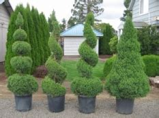 pruning can i trim this shrub into a spiral shape gardening landscaping stack exchange