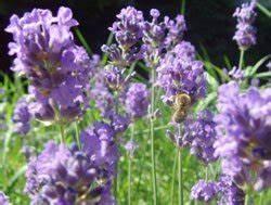 Lavendel Wann Schneiden : lavendel vermehren schritt f r schritt anleitung ~ One.caynefoto.club Haus und Dekorationen