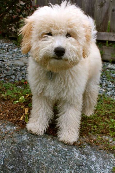 Whoodle Dog Breed Information Pictures And More