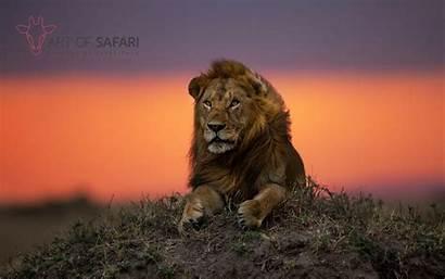 Lion Sunset Safari 1800 2880 Desktop Wallpapers