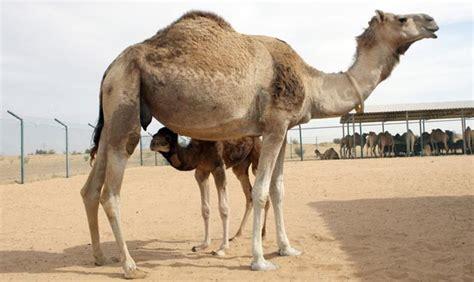 Camelcrazy Uae Pioneers New Breeding Methods Emirates247