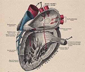 Vintage Heart Diagram By Hauntingvisionsstock On Deviantart