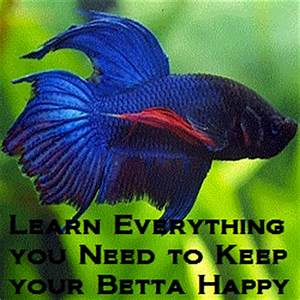 Little Known Facts About Betta Fish | bettafishhome.com