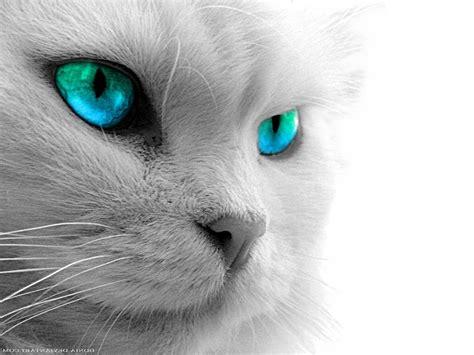 animals zoo park black cat eyes wallpapers blue cat eyes