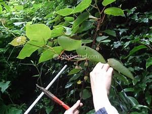 L Arbre Du Kiwi : a quelle periode fleurit le kiwi ~ Melissatoandfro.com Idées de Décoration