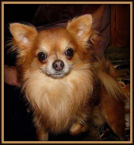 meet  breed  chihuahua baxterboo