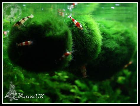 moos für aquarium all sizes marimo moss balls cladophora live aquarium plant fish tank shrimp nano ebay