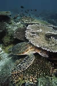 Green Sea Turtle Coral Reef