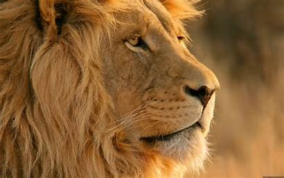 Lion Majestic Nature Wallpapers