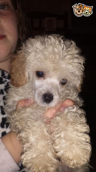 Small Toy Cream Poodle Girl Norwich Norfolk Petshomes