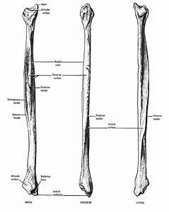 Fibula Bone Anatomy