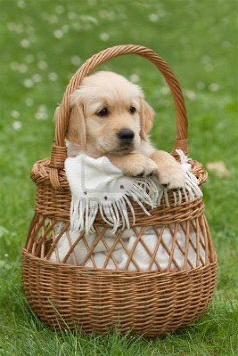 puppies  baskets images  pinterest baby