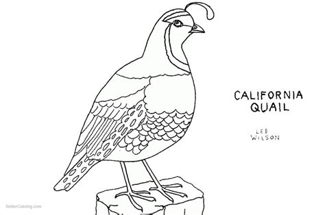 quail coloring pages california quail  art