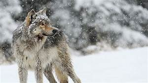 46+ Wolf wallpapers ·① Download free stunning HD ...