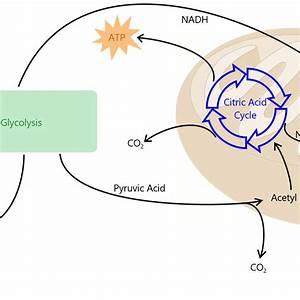 Simple Mitochondria Cellular Respiration Diagram