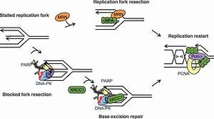 DNA-PKcs and PARP1 Bind to Unresected Stalled DNA ...