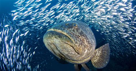 grouper goliath fish atlantic fishing florida diving coast atoll region north way story usatoday