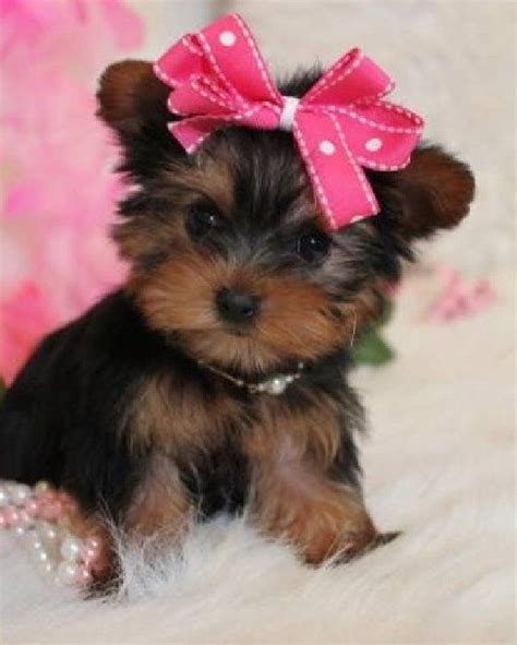 Images Of Yorkies Yorkie Pics Images Animals