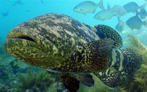 grouper goliath fish ocean florida atlantic keys marine giant species line noaa mote reef diving coral fishes thread oceana key