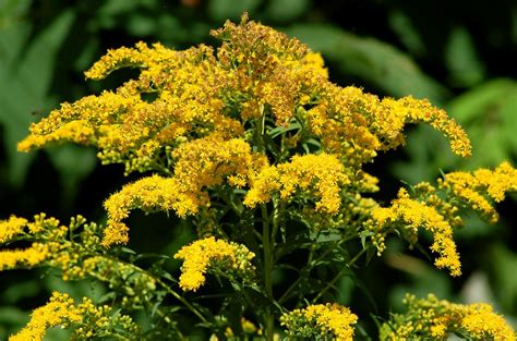 Small Kitchen Reno Ideas - goldenrod weeds or wildflowers