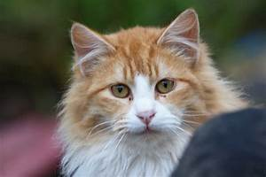 Fluffy Cat Breeds - Cats Types