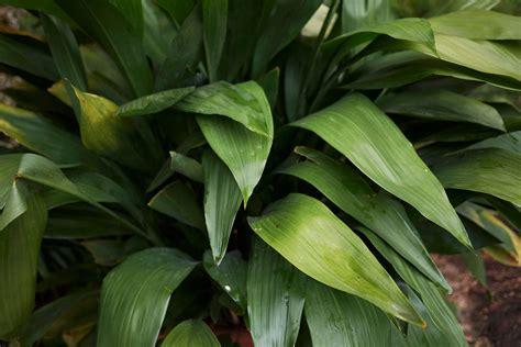 Schusterpalme Als Zimmerpflanze by Schattenliebende Zimmerpflanzen Unsere Top 10 Plantura