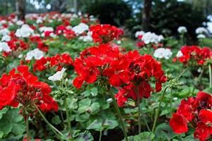 Wann Geranien Pflanzen : geranien pflanzen standort pflanzzeit begleitpflanzen ~ Lizthompson.info Haus und Dekorationen