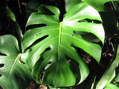 Tropical Foliage Zone Texana September Follow Hardy