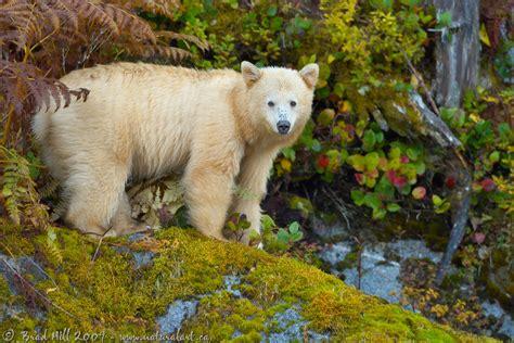 natural art images image galleries mammals bears