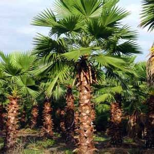 washingtonia robusta palmier du mexique mon