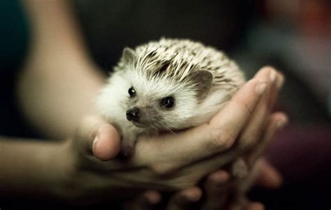 pet hedgehog i love my pet hedgehog 4 things you need to know before adopting one rodale s organic life