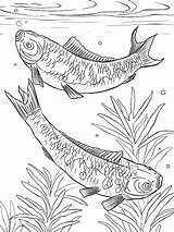 Coloring Koi Fish Colornimbus sketch template