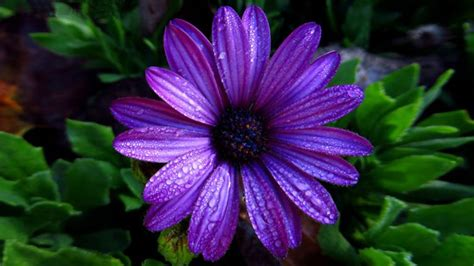 aster flower dark purple color  water droplets full hd