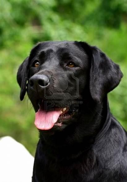 Labrador Dog Dogs Animals Wallpapers Retriever Lab