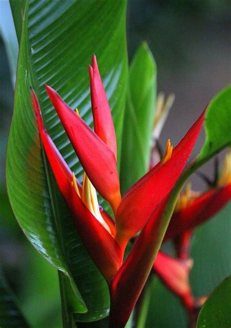 heliconia color 17 best images about flowers on green