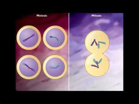 diferencia entre mitosis  meiosis youtube