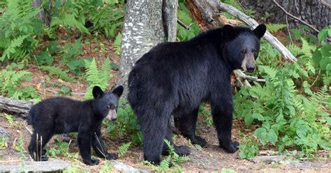 black bears  massachusetts massgov