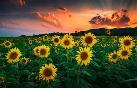 sunny pictures  sunflower