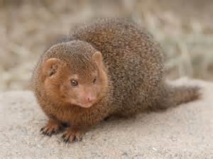 The Mongoose – Kaieteur News