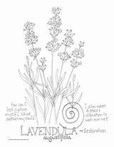 Lavender Coloring Drawing Line Flower Pages Drawings Simple Restoration Bouquet Printable Jar Mason Getdrawings Lines Paintingvalley sketch template